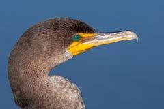 Double verticale crêtée de Cormorant Image libre de droits