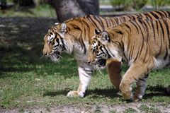 Double Vision. Two tigers prowling next to each other royalty free stock image
