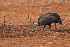 Helmeted Guineafowls Royalty Free Stock Photography