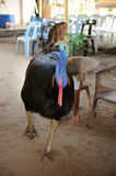 Double wattled cassowary Royalty Free Stock Images