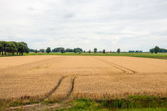 Double wheel tracks in a golden ripening wheat field Stock Images