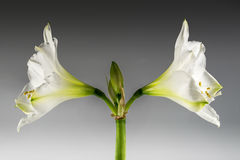 Double white amaryllis flower Hippeastrum blooming symmetrical. Against a gray background, concept for two directions, couples, siblings, families or difficult stock image