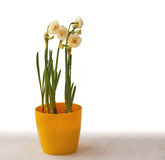 Double white daffodils in a yellow pot Royalty Free Stock Images