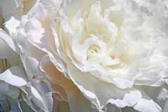Double White Peony Royalty Free Stock Photos