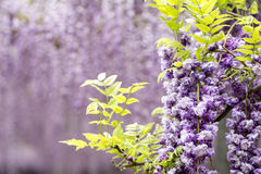 Double wisteria flowers Stock Image
