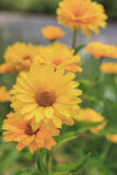 Double Yellow Coreopsis Stock Images