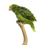 Double Yellow-headed Amazon (6 months old) perched on a branch. Isolated on white stock photos