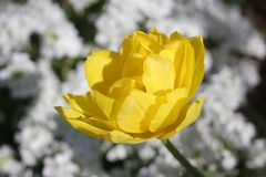 Double Yellow Tulip Royalty Free Stock Image