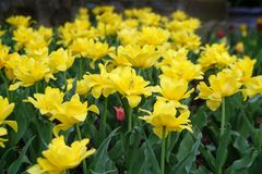 Double Yellow Tulips Stock Image