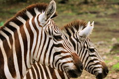 Double Zebra. A Zebra is standing next to the other Zebra royalty free stock images
