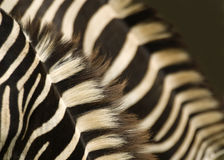 Double Zebras abstract. Abstract of two Zebra's ruffs Stock Images