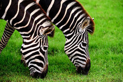 Double Zebras. Two zebras eating in the grass field Royalty Free Stock Photos