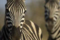 Double Zebras. Zebra portraits in a game park Royalty Free Stock Photo