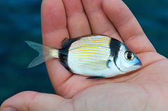 Doublebanded Bream Royalty Free Stock Images