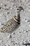 Doublebanded Courser - Namibia Royalty Free Stock Photos