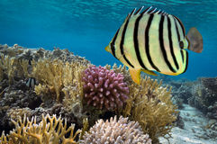 Doublebar-Brachsen acanthopagrus bifasciatus, Rotes Meer, Ägypten Lizenzfreie Stockfotografie