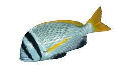 Doublebar bream Royalty Free Stock Images