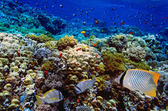 Doublebar bream and coral reef. Red Sea Royalty Free Stock Photography
