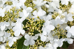 Doublefile Viburnum Royalty Free Stock Image