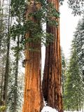 Doubles arbres de séquoia de Giants en Californie photographie stock