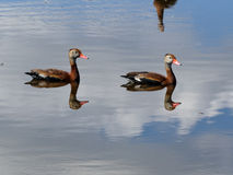 Doubles canards Photos stock