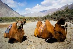 Doubles chameaux de bosse Photos libres de droits