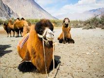 Doubles chameaux de bosse Photo libre de droits