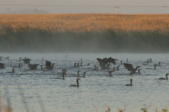 Doubles cormorans crêtés Photo libre de droits