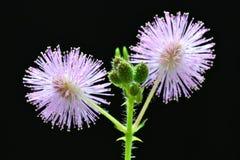 Doubles fleurs Photos libres de droits