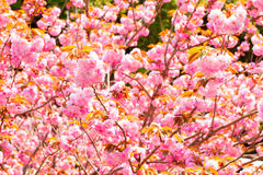 Doubles fleurs de cerisier de floraison Images libres de droits