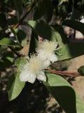 Doubles fleurs de goyave photographie stock