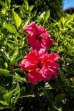Doubles fleurs de ketmie à Funchal Madère Image libre de droits