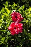 Doubles fleurs de ketmie à Funchal Madère Images libres de droits