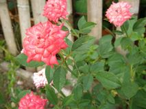 Doubles pétales de rose roses photo stock