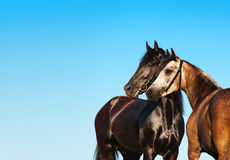 Doubles portrait black and light horse against the blue sky royalty free stock photos