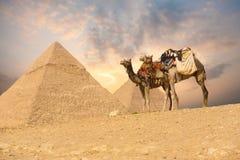 Doubles pyramides de Giza de chameau Photos libres de droits