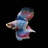 Doubletail Betta. On black background. Beautiful fish. Swimming flutter tail flutter Royalty Free Stock Photos