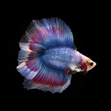 Doubletail Betta. On black background. Beautiful fish. Swimming flutter tail flutter Royalty Free Stock Photo