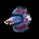 Doubletail Betta. On black background. Beautiful fish. Swimming flutter tail flutter Stock Photo