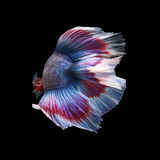 Doubletail Betta. On black background. Beautiful fish. Swimming flutter tail flutter Royalty Free Stock Photography