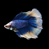 Doubletail Betta. On black background. Beautiful fish. Swimming flutter tail flutter Royalty Free Stock Image