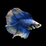Doubletail Betta. On black background. Beautiful fish. Swimming flutter tail flutter Stock Photos