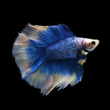 Doubletail Betta. On black background. Beautiful fish. Swimming flutter tail flutter Royalty Free Stock Images