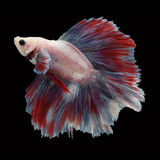 Doubletail Betta on black background. Beautiful fish. Swimming flutter tail flutter Stock Image