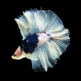 Doubletail Betta on black background. Beautiful fish. Swimming flutter tail flutter Stock Photography