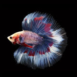 Doubletail Betta on black background. Beautiful fish. Swimming flutter tail flutter Stock Photos