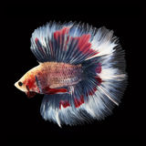 Doubletail Betta on black background. Beautiful fish. Swimming flutter tail flutter Stock Photo