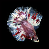 Doubletail Betta on black background. Beautiful fish. Swimming flutter tail flutter Stock Images