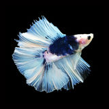 Doubletail Betta on black background. Beautiful fish. Swimming flutter tail flutter Royalty Free Stock Images