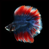 Doubletail Betta on black background. Beautiful fish. Swimming flutter tail flutter Royalty Free Stock Photography